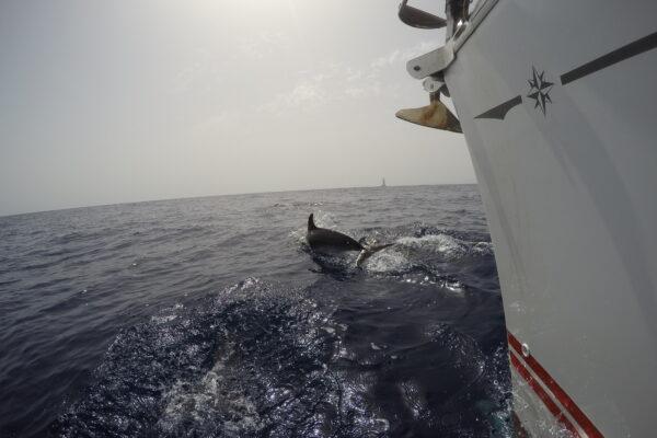 Delfin nadando junto a nuestro velero