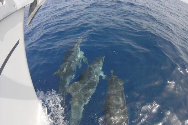 Navega con los delfines en nuestros veleros por Fuerteventura